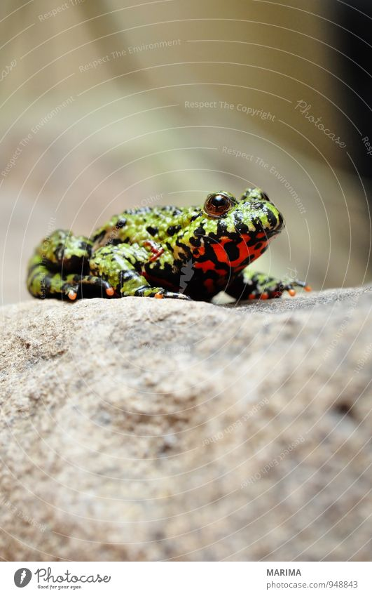 Fire-bellied Toad sitting on a stone Stil Natur Tier Wasser Teich See Frosch Stein sitzen Ekel nass grau grün rot schwarz Amphibie Asien Auge Europa Feuerkröte