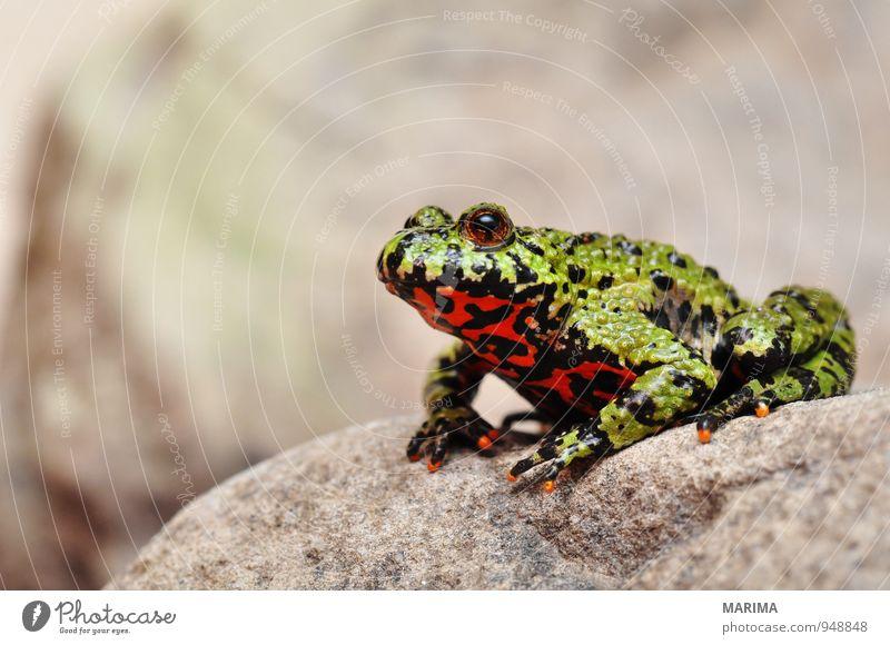 Fire-bellied Toad sitting on a stone Stil Natur Tier Wasser Teich See Frosch Stein sitzen Ekel nass grau grün rot schwarz Amphibie Asien Europa Feuerkröte