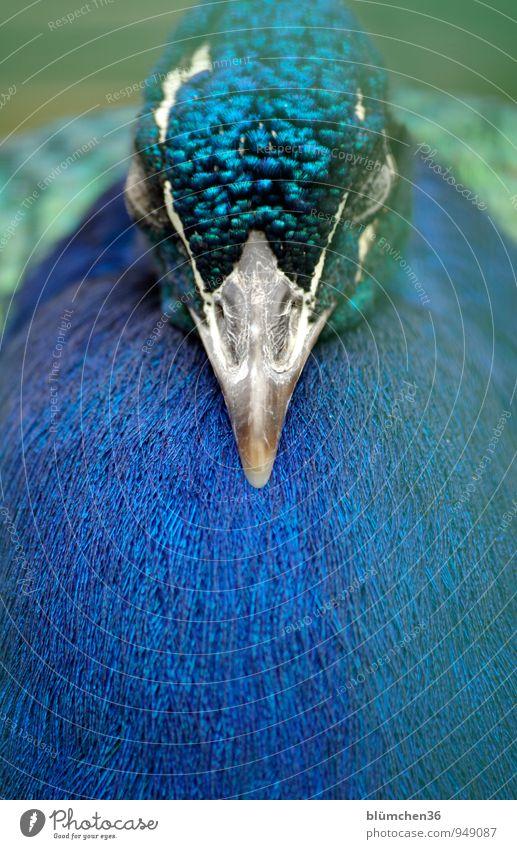 Erstmal ein kleines Nickerchen... blau schön grün weiß Tier Auge natürlich Vogel glänzend Kopf elegant Wildtier Feder ästhetisch schlafen türkis