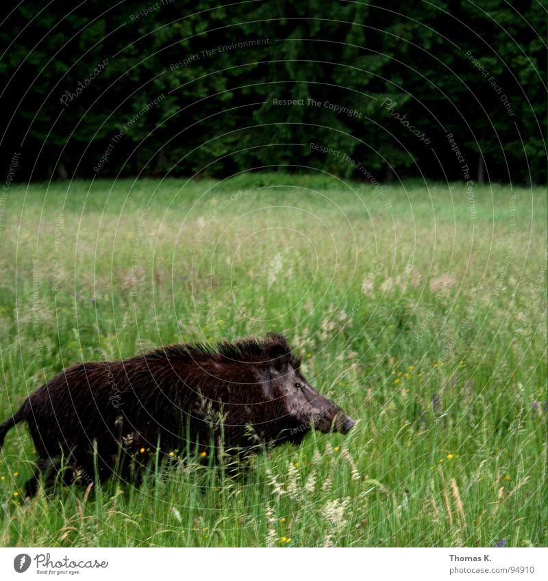 Rasende Wildsau Sau Wildschwein Schwein links Wald Gras Wiese Jäger Keiler grün Stengel Halm Ähren glänzend schön weich Rauschen zart beweglich sensibel