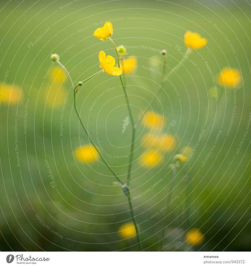 buttercups Natur Pflanze Sommer Klima Gras Sträucher Blüte Grünpflanze Wildpflanze Garten Park Wiese Feld leuchten Wachstum natürlich gelb grün Buttercup