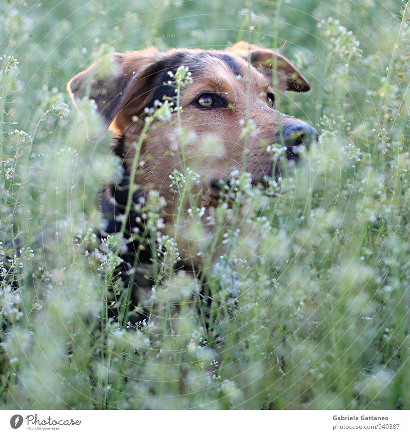 Aufmerksam Natur Pflanze Grünpflanze Tier Haustier Hund 1 beobachten schön braun grün aufsehen Auge verstecken Farbfoto Außenaufnahme Schwache Tiefenschärfe