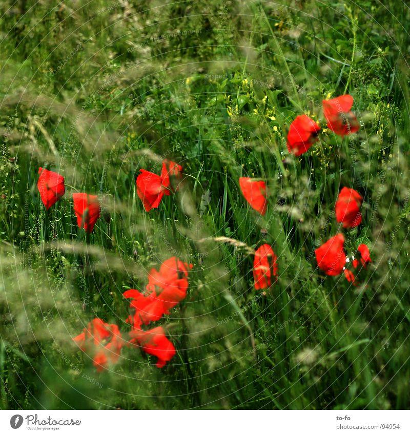 Papaver rhoeas Mohn Klatschmohn Wiese rot Frühling Feld Landwirtschaft Blume Pflanze zusätzlich Amerika Kontrast