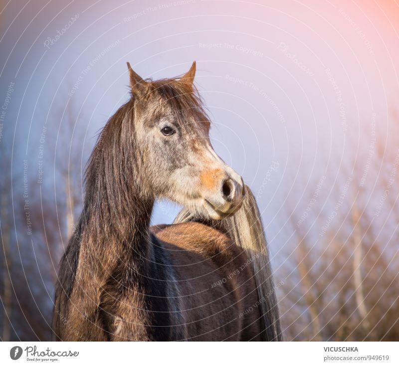 Araber Pferd mit Winterfell in Morgenlicht Design Natur Frühling Herbst Wetter Schönes Wetter Park Wald Tier Nutztier 1 arabian Vollblut Fell frei