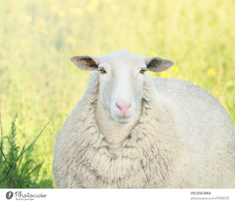 weiße Lamm mit rosa Nase auf der Wiese Natur Pflanze Sommer Sonne Tier gelb Frühling Lifestyle Feld Fell Tiergesicht Schaf