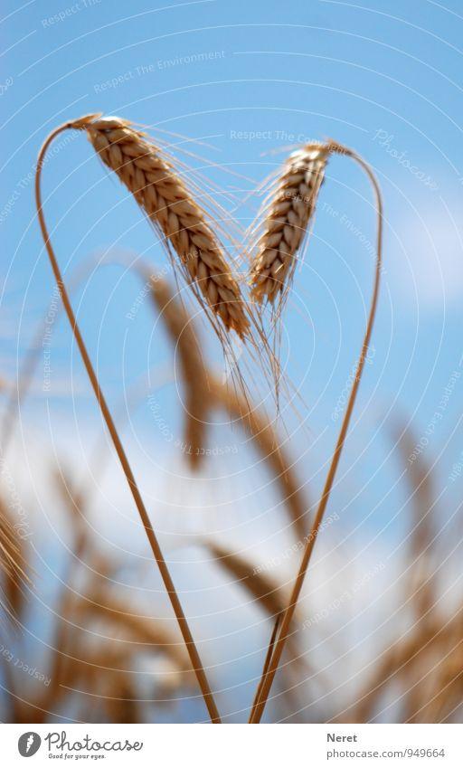 Roggen zugewandt Himmel Natur Pflanze Sommer Landschaft Gefühle Wiese Gesundheit Idylle ästhetisch Herz Schönes Wetter Zeichen Wunsch Zusammenhalt