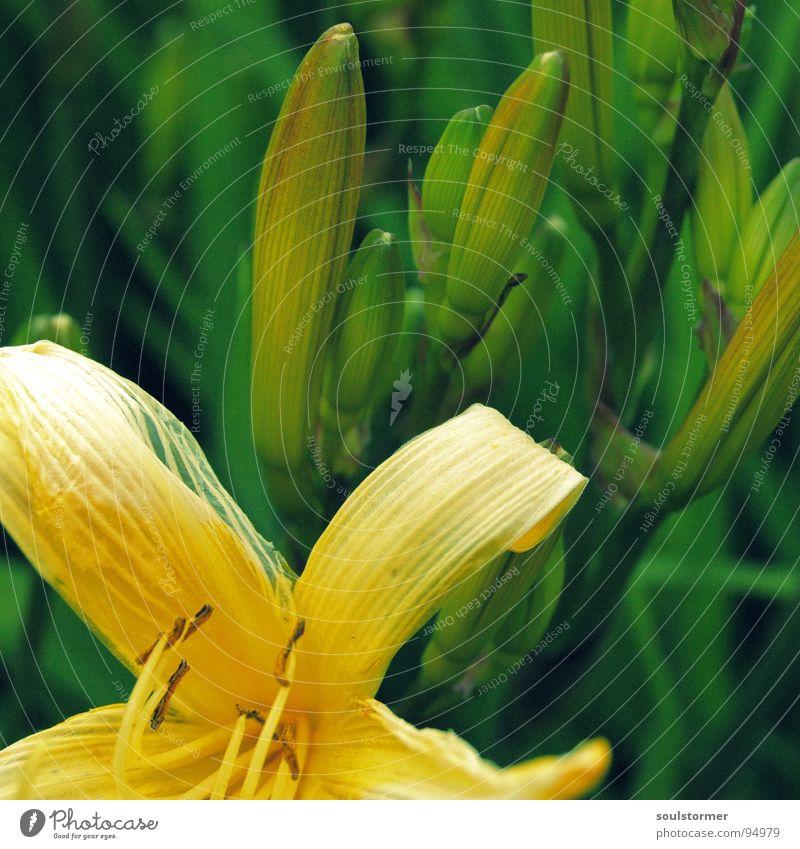 vergänglich... Blume gelb grün Blüte Pflanze Vergänglichkeit Pollen Lebenslauf Makroaufnahme Nahaufnahme ausgeblüht neu alt Tod Ende Beginn