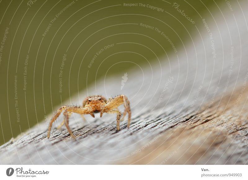 Tänzchen gefällig? Natur Tier Wildtier Spinne 1 Holz krabbeln klein orange Farbfoto mehrfarbig Außenaufnahme Makroaufnahme Menschenleer Textfreiraum oben Tag