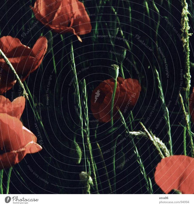 Mohn mal anders Blume rot dunkel Sommer Frühling Blüte Schlafmohn Pflanze Abend