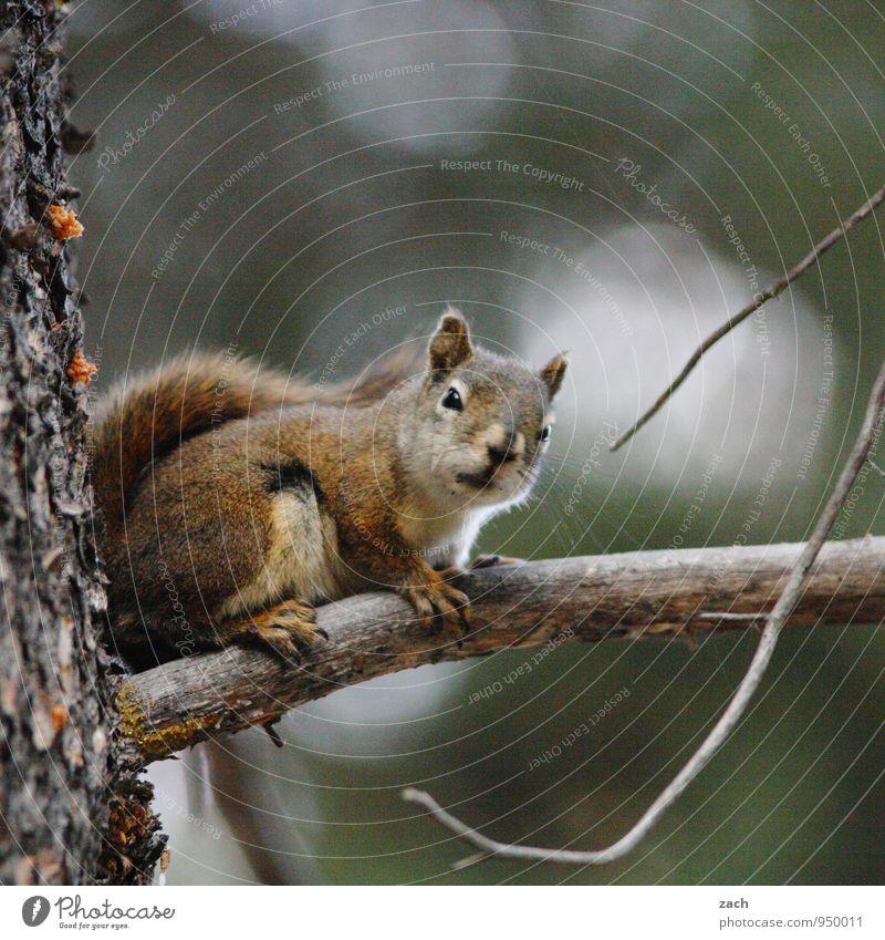 Alles im Blick Natur Baum Tier Wald grau Wildtier niedlich festhalten Fressen füttern Eichhörnchen Nadelbaum Nagetiere Nadelwald