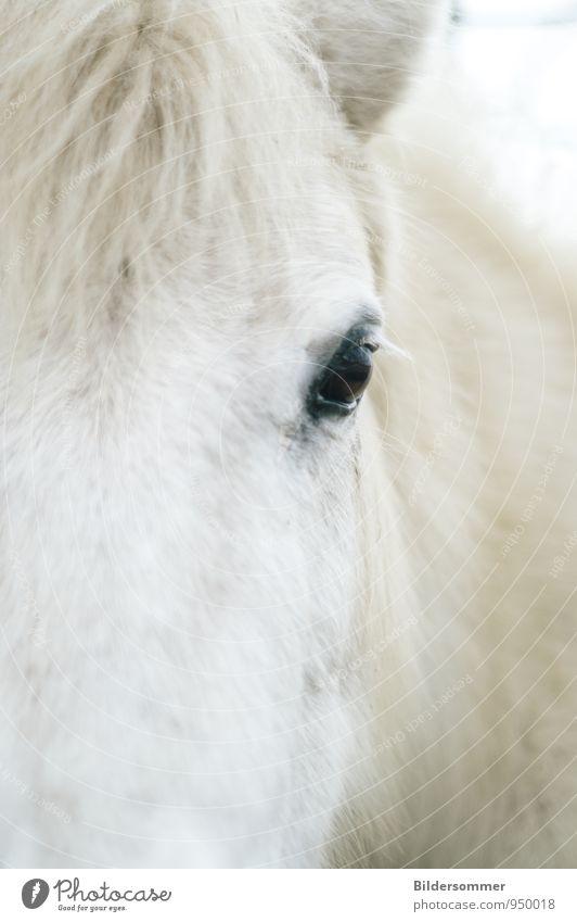 eye to eye Tier Nutztier Pferd Tiergesicht Fell 1 beobachten Blick natürlich weich schwarz weiß Tierliebe Treue Wachsamkeit Partnerschaft Kraft Natur Ponys