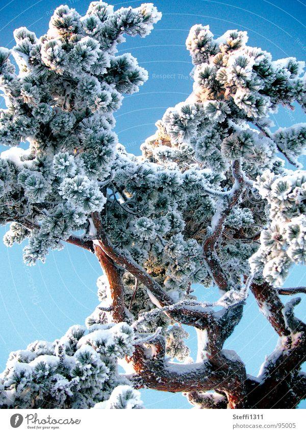 Vereister Baum weiß blau Winter kalt Schnee Eis dünn Finnland