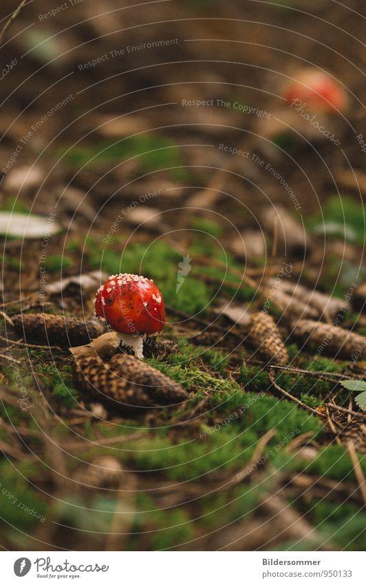. Natur Moos Zapfen Pilz Fliegenpilz Wald klein braun grün rot Glück Vorsicht Gift Waldboden Waldspaziergang Pilzsucher ungenießbar Farbfoto Außenaufnahme
