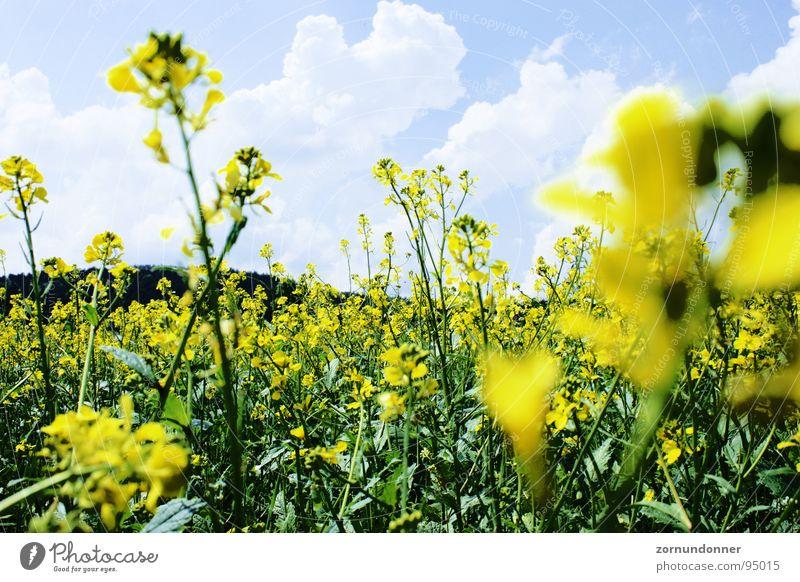 Raps Himmel Blume Sommer gelb Wiese Feld