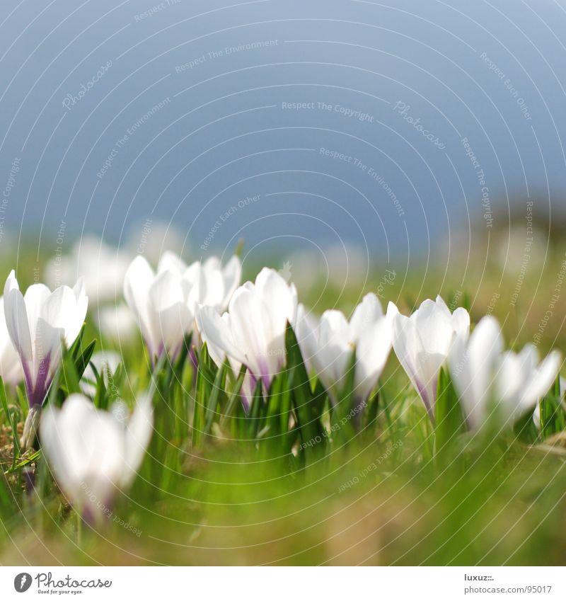 Frühlingserwachen – Sorry Verzögerung! Krokusse Blume Wiese Blüte Alm Bergwiese aufwachen springen Weide flower grassland crocus
