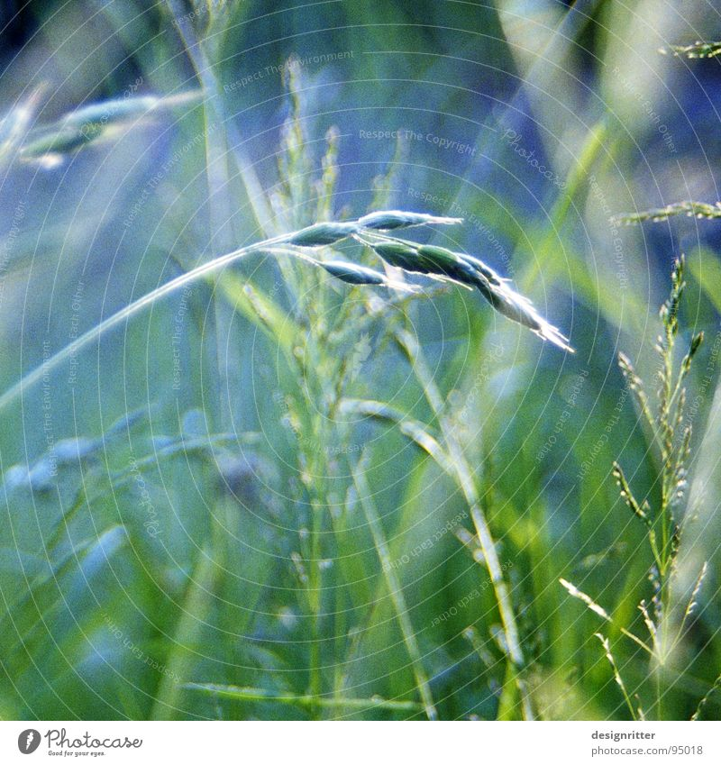 Käferperspektive grün Sommer Wiese Gras hell zart leicht Halm zerbrechlich filigran
