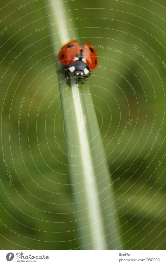 fliegen | startklar Natur Sommer Gras Halm Käfer Marienkäfer krabbeln grün rot Glück Sommergefühl Leichtigkeit rot-grün grün-rot unterwegs Glücksbringer