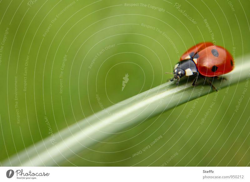 auf Tour Umwelt Natur Sommer Gras Halm Garten Wiese Käfer Marienkäfer krabbeln ästhetisch nah natürlich schön grün rot Glück Sommergefühl unterwegs gepunktet