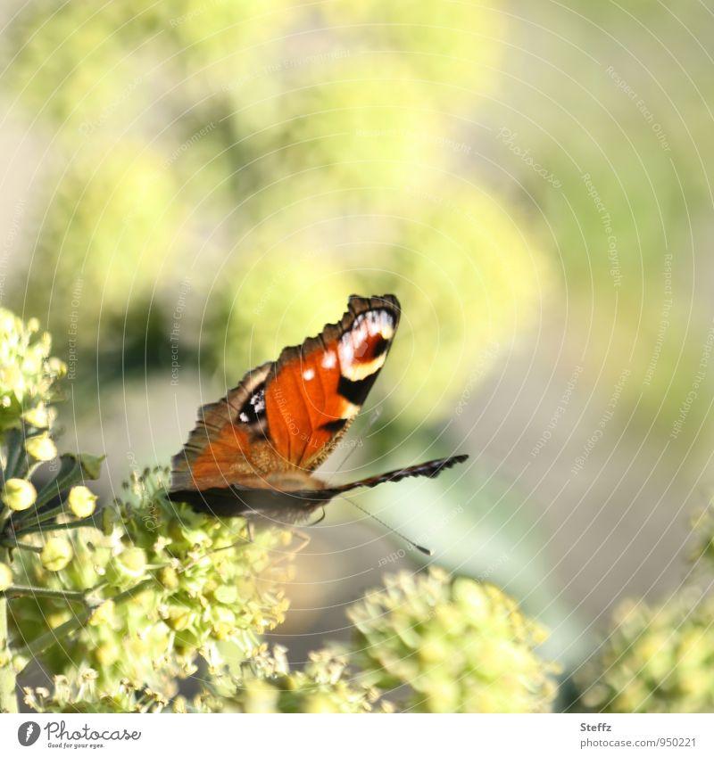 noch ein bisschen Sonne Natur Herbst Schönes Wetter Pflanze Garten Park Schmetterling Flügel Tagpfauenauge Augenfalter natürlich schön grün orange Lichtstimmung