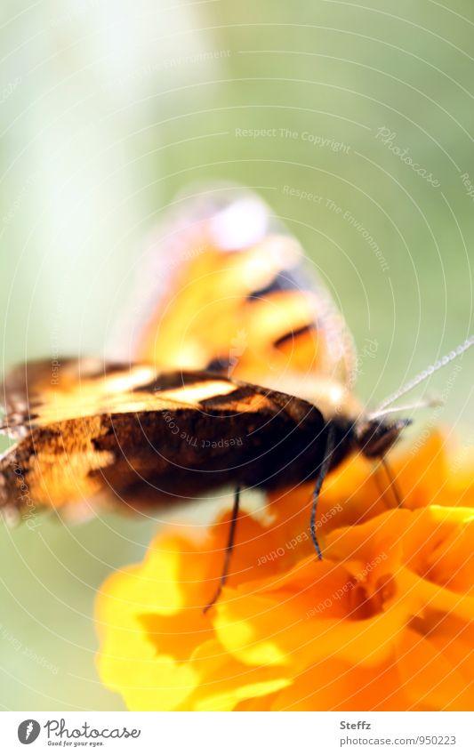 Schmetterling mit Lichtflügel Edelfalter Falter Leichtigkeit leicht bunte Flügel Lichteinfall Lichtstimmung Lichtschein Pastellton lichtvoll Tagetes