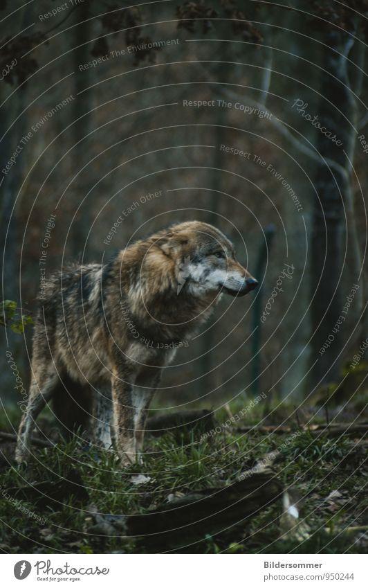 . grün Einsamkeit Tier dunkel Wald Herbst Gras grau braun Angst trist Kraft Wildtier stehen warten ästhetisch