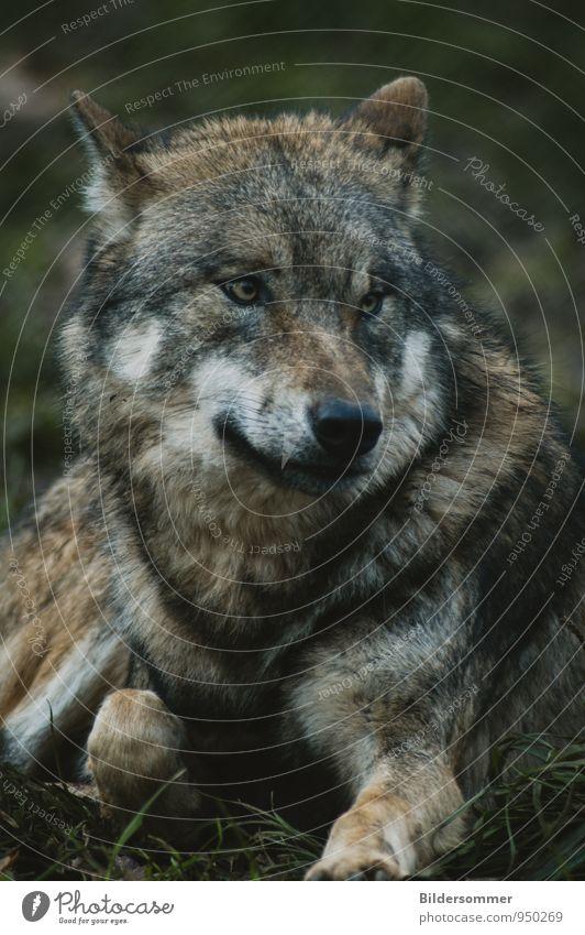 . grün weiß Tier schwarz natürlich braun liegen wild Wildtier gefährlich bedrohlich falsch Märchen Respekt mystisch Schüchternheit