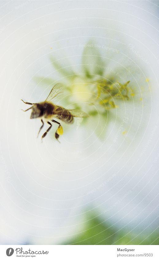 Biene Blume Honig Staubfäden Nektar Imkerei