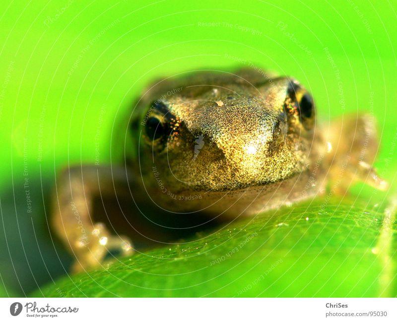 gerade Frosch geworden 01 grün braun Tier Kaulquappe Teich hüpfen springen Quaken Gewässer Froschlaich Frühling Lurch Grasfrosch Nordwalde Makroaufnahme