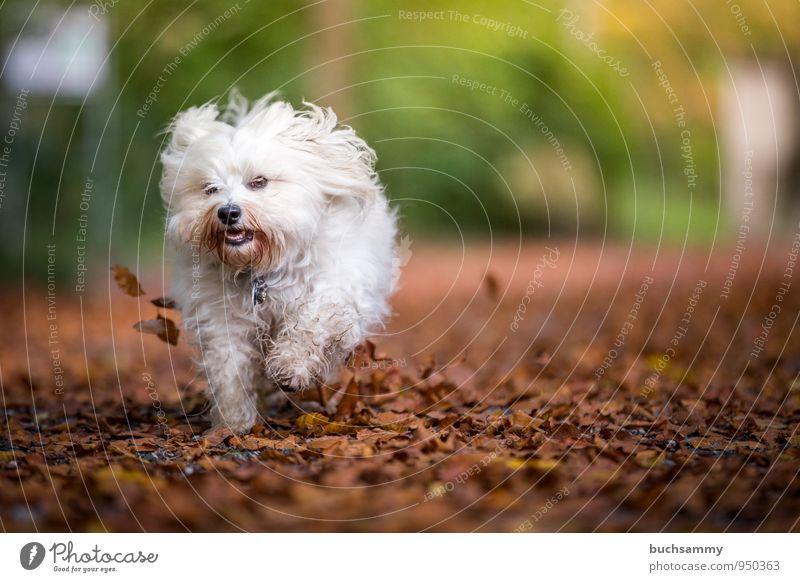 Kleiner Herbststurm Freude Natur Tier Blatt Garten langhaarig Haustier Hund 1 lustig Geschwindigkeit braun gelb grün weiß Havaneser Jahreszeiten Aktion rennen