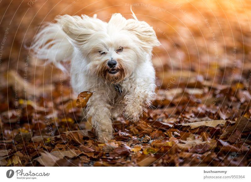 Herbst Laub Freude Tier Blatt langhaarig Haustier Hund 1 lustig Geschwindigkeit braun gelb weiß Havaneser Jahreszeiten Aktion rennen Farbfoto Außenaufnahme