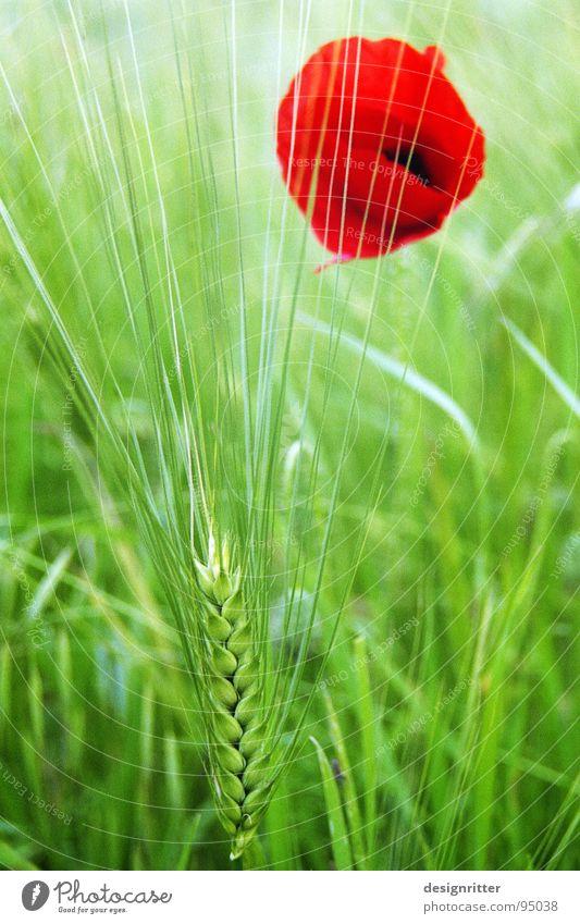 Gegensätze Blume grün rot hell Getreide Mohn Gerste Heilpflanzen