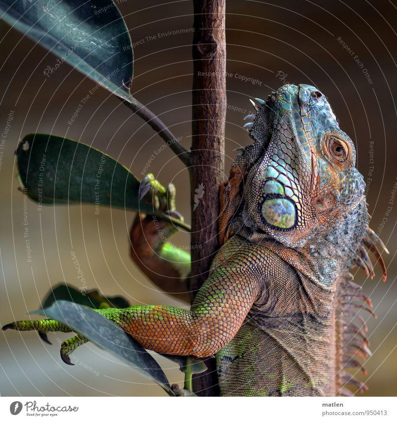 EntfaltungsmöglichkeitenIAufsteiger grün Baum rot Tier braun Klettern türkis Krallen Schuppen Leguane Gummibaum