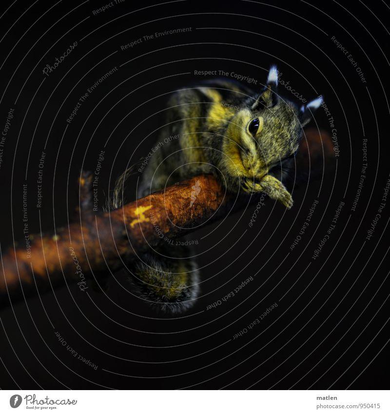 poledance weiß Tier schwarz gelb Leben braun Ast Reinigen Streifenhörnchen