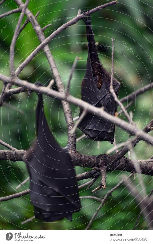 gut abgehangen Baum Blatt Wildtier Flügel Krallen Pfote 2 Tier hängen braun grau grün Fledermäuse Flughunde fauler hund Farbfoto Gedeckte Farben Menschenleer