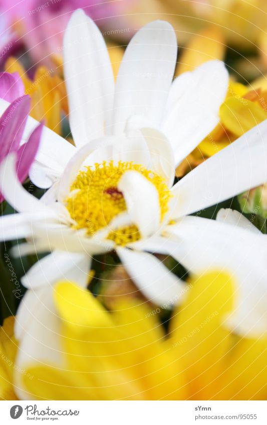 Flowerpower Blume mehrfarbig weiß gelb rosa Frühling Sommer Winter Herbst Fröhlichkeit Unschärfe Blüte grün Biene Bienenstock Honig bestäuben Mischung