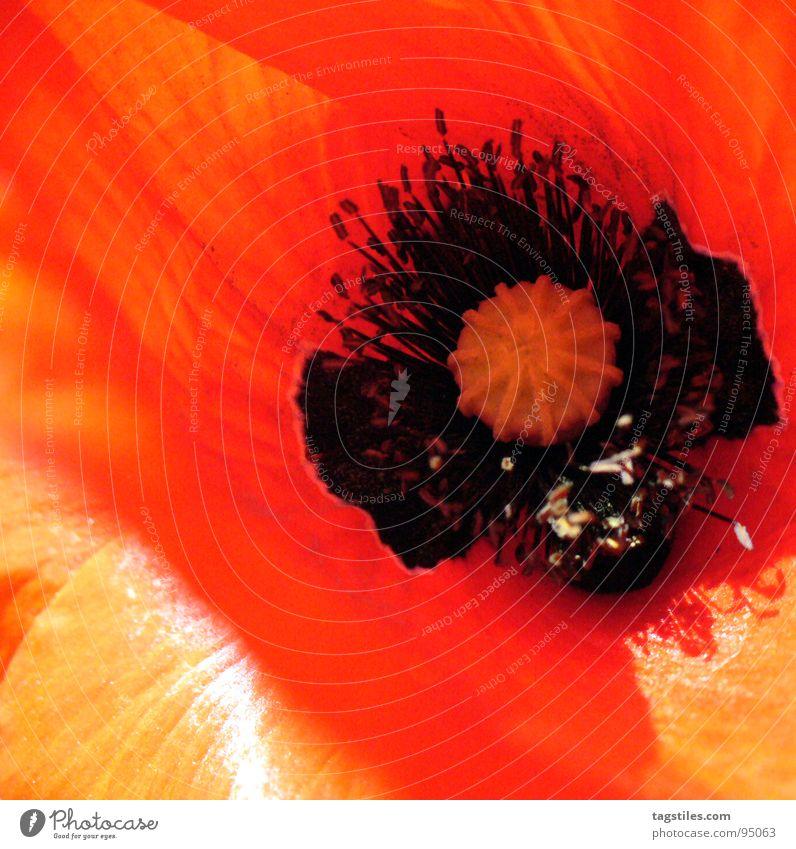 Mohn Pflanze rot Sommer Blüte orange Mohn Samen Pollen Stempel Staubfäden Nektar Klatschmohn Blütenpflanze