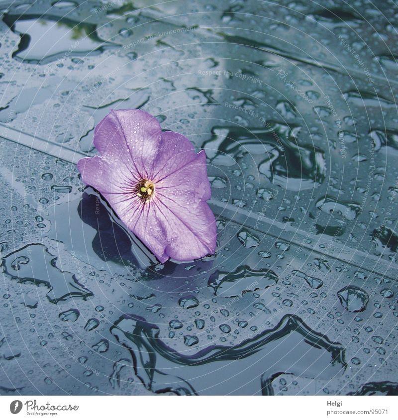 lila Blüte liegt auf einem blauen Tisch mit Regentropfen Blume Petunie violett nass Gartentisch Pfütze Reflexion & Spiegelung Blütenblatt fallen zart