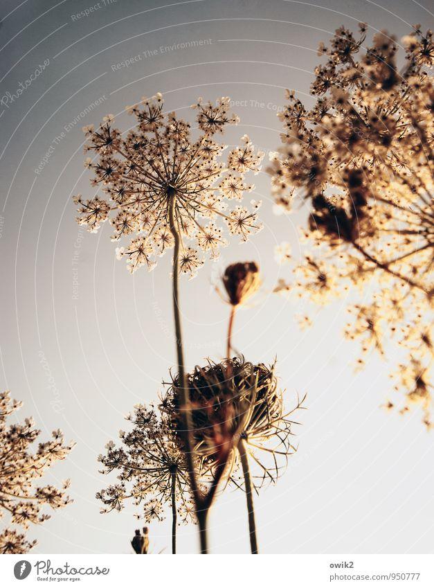 Feuerwerk Umwelt Natur Pflanze Wolkenloser Himmel Sträucher Wildpflanze Gewöhnliche Schafgarbe atmen Blühend leuchten stehen Wachstum dünn authentisch fest frei