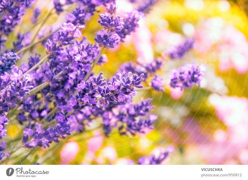 Lavendel, Hintergrund mit Bokeh Natur Pflanze Sommer Blume gelb Herbst Garten rosa Park Design retro Lavendel