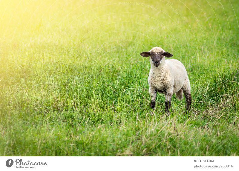 Lamm auf der Weide Natur grün Sommer Sonne Tier schwarz Gesicht Herbst Wiese Gras Frühling Stil Feld Baby Ohr