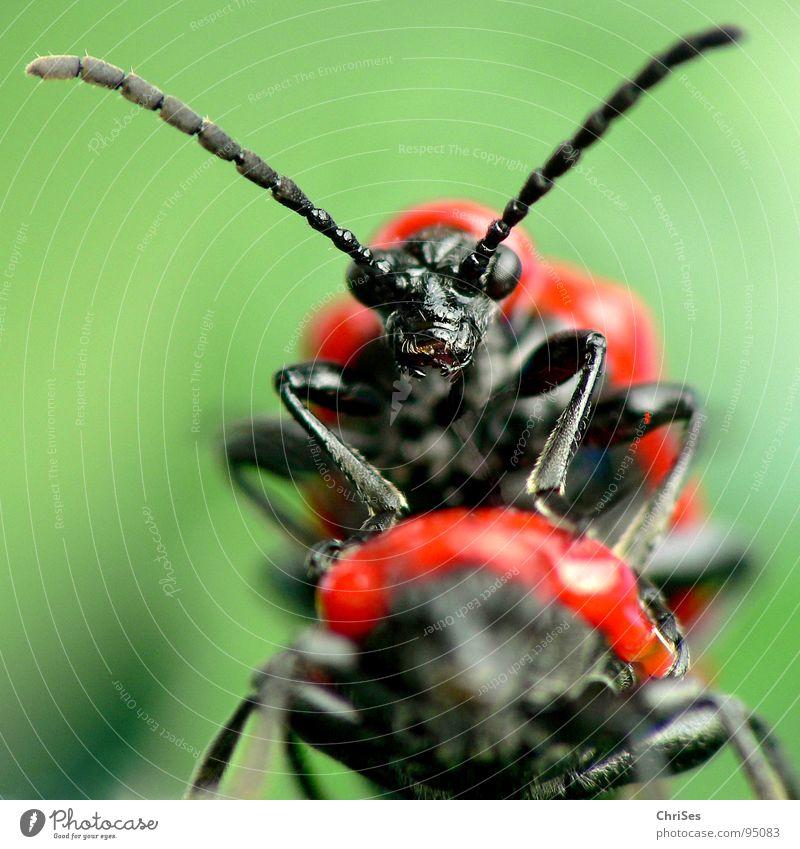 Lilienhähnchen_Lilioceris lilii_Vergnügen oder harte Arbeit grün rot Tier schwarz Frühling Tierpaar Verkehr paarweise Insekt Wut Lust Käfer Monster frontal