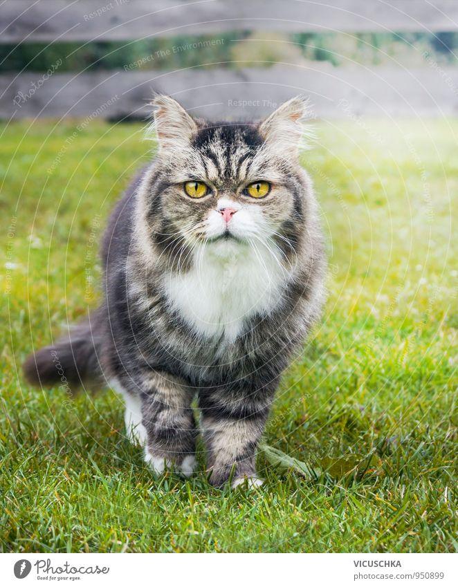alte Katze im Garten aufs Gras Natur Sommer Tier gelb Herbst grau Park Lifestyle Freizeit & Hobby Spaziergang Hauskatze freilaufend