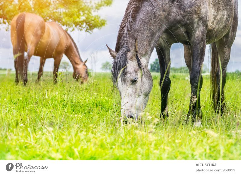 Grasende Pferde nach dem Gewitter. Pflanze grün Sommer Sonne Baum Wolken Tier Wiese grau Feld Tierpaar nass Schönes Wetter Weide Haustier