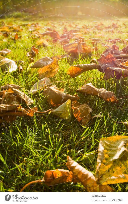 Immer noch Garten Herbst Schrebergarten Klima Blatt Herbstlaub Natur Oktober November Wetter Sonne Licht hell Gras Rasen Wiese Baum Kirschbaum Gegenlicht