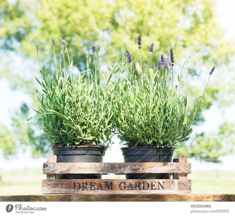 Lavendel in alter Holzkiste auf dem Garten Tisch Natur Pflanze Sommer Baum Blume Frühling Design Dekoration & Verzierung Kräuter & Gewürze Blumenstrauß Duft