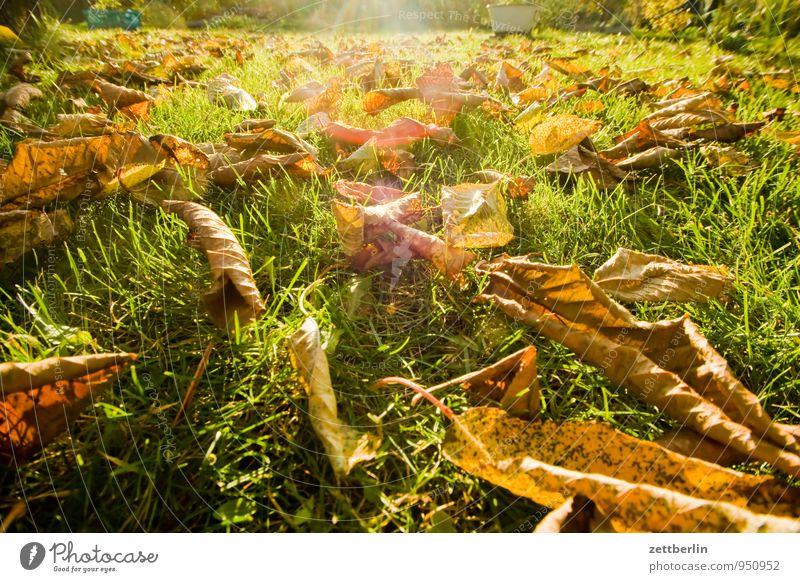 Herbst im Gärtchen Garten Schrebergarten Klima Blatt Herbstlaub Natur Oktober November Wetter Sonne Licht hell Gras Rasen Wiese Baum Kirschbaum Gegenlicht