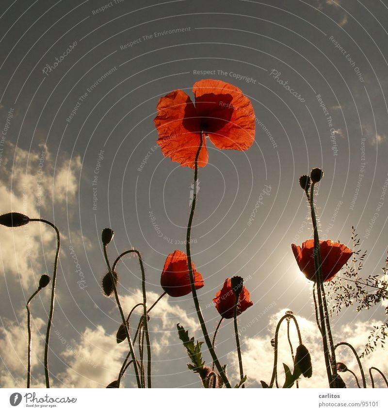 Dem Trend hinterher Mohn Klatschmohn rot Feld Wiese Gras Gegenlicht Sommer Physik Blüte Frühling Himmelskörper & Weltall Sonne Wärme Opium bringt Opi um
