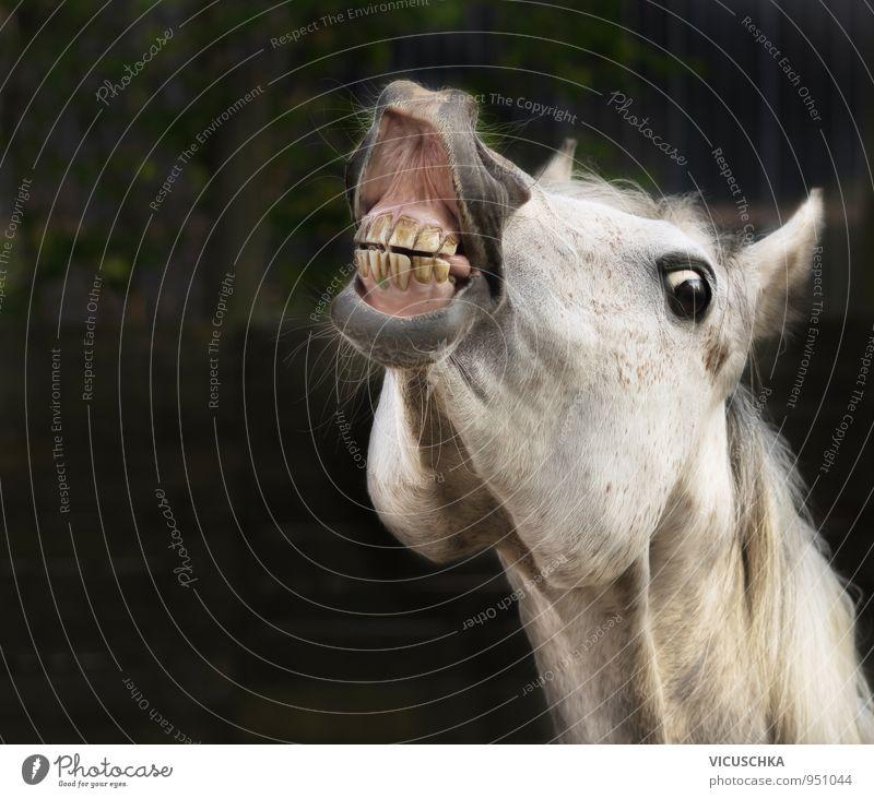 Weißes Pferd lächelt Lifestyle Freizeit & Hobby Sommer Sport Reitsport Natur Frühling Herbst Tier Nutztier 1 Design grinsen weiß lachen Wittern Maul Auge Freude