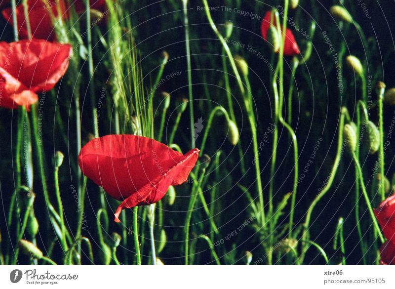 endlich 40 :) Blume grün rot Sommer Wiese Blüte Mohn Mohnblüte