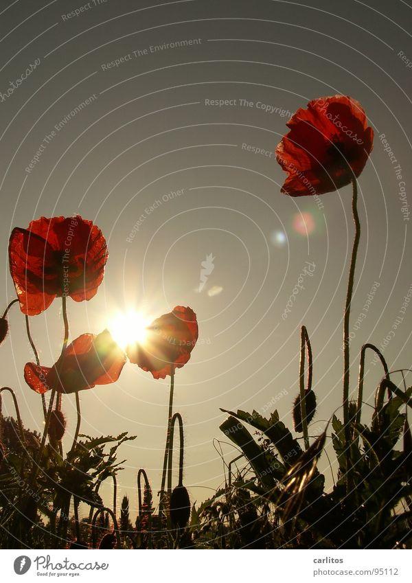Nach dem Trend ist vor dem Trend Mohn Klatschmohn rot Feld Wiese Gras Gegenlicht Sommer Physik Blüte Frühling Himmelskörper & Weltall Sonne Wärme
